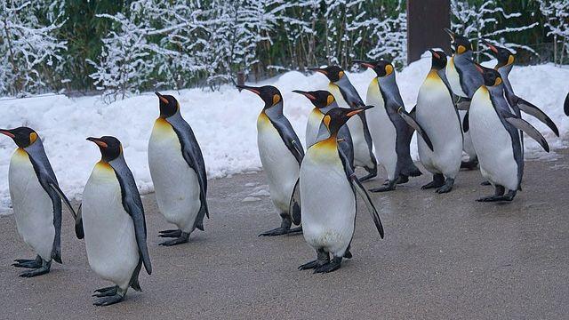 king-penguin-1154432_640-compressor